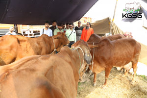 sahiwal cow fair