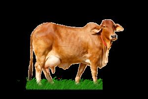 sahiwal cow in punjab