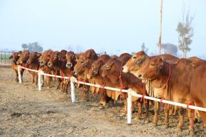 This image for sahiwal cows in india