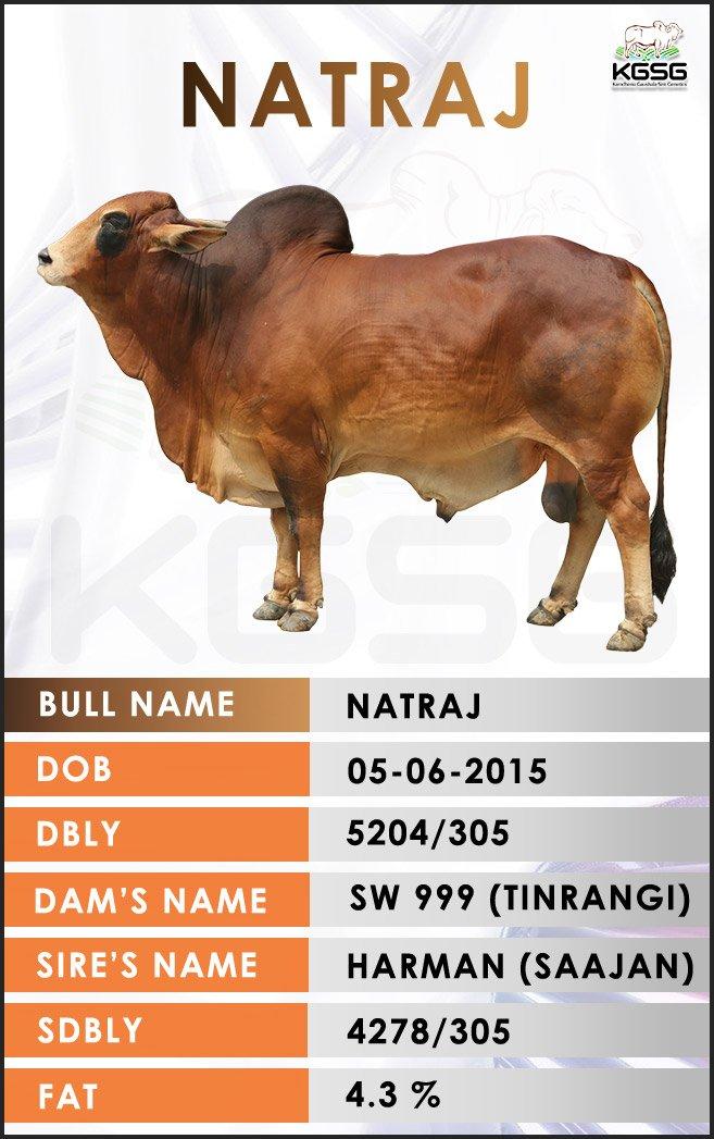 Sahiwal Bull Natraj